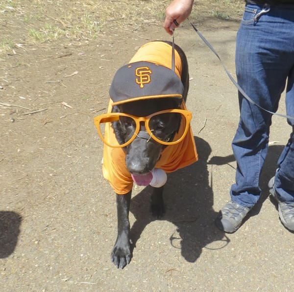 Labrador Retriever in Giants Hat, Shirt, and Glasses