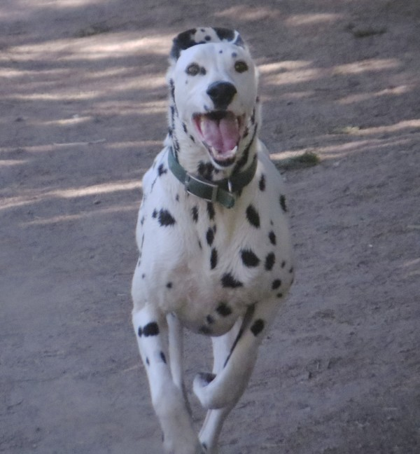 Galloping Dalmatian