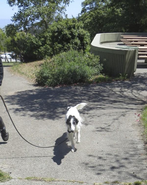 Small Silken Windhound