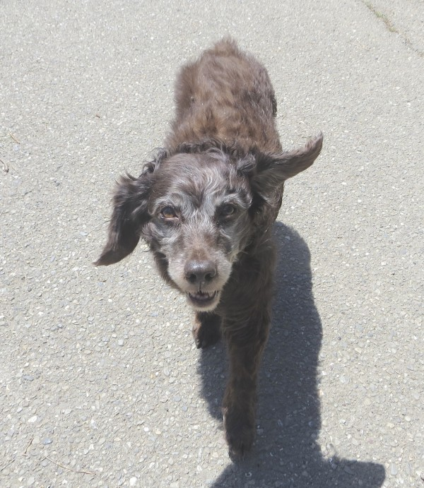 Older Boykin Spaniel With Greying Face