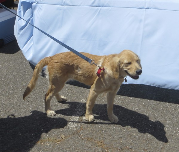 Dog Of The Million Dog March: 4-Month-Old Golden Retriever