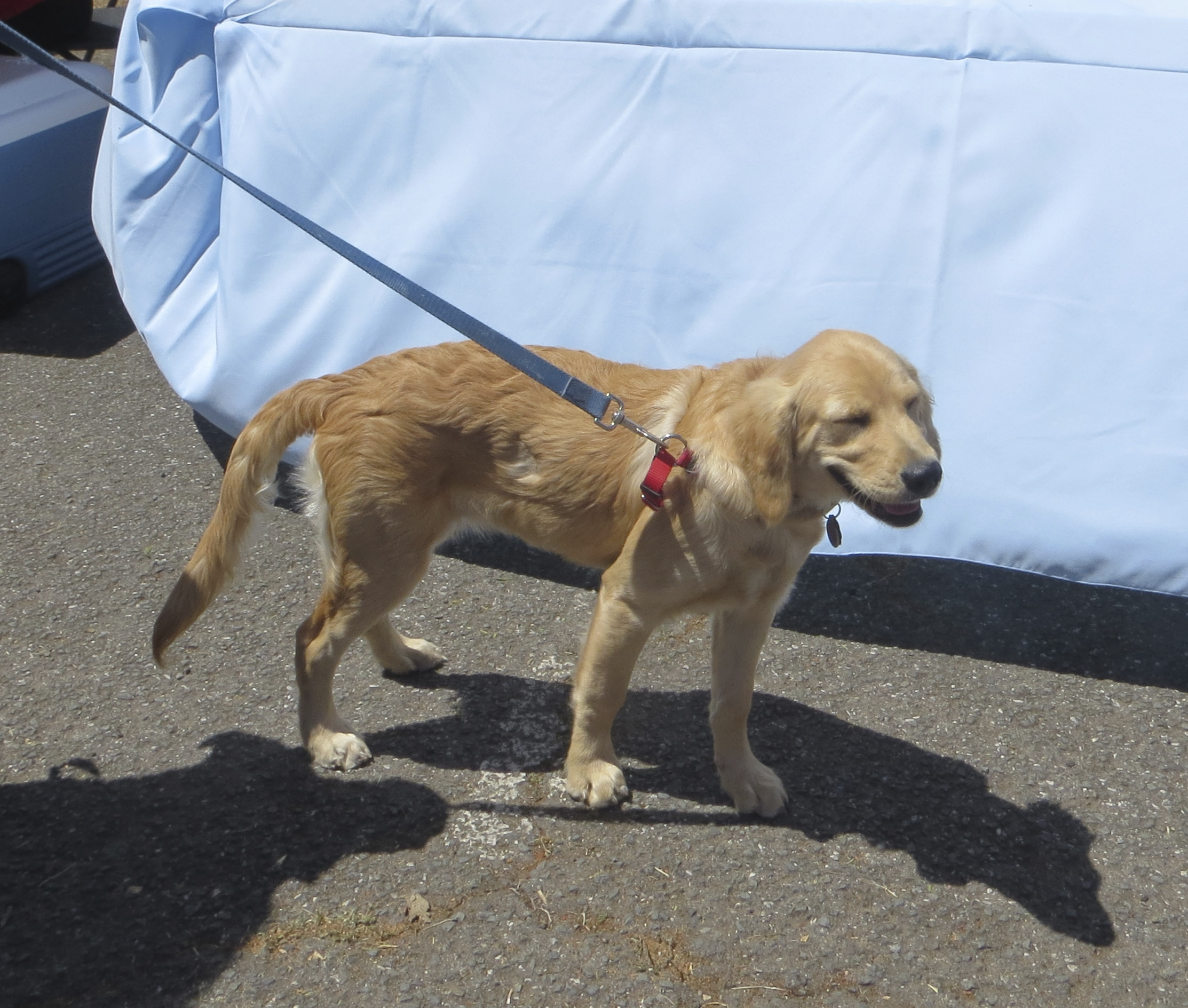 Four-Month-Old Golden Retriever Puppy