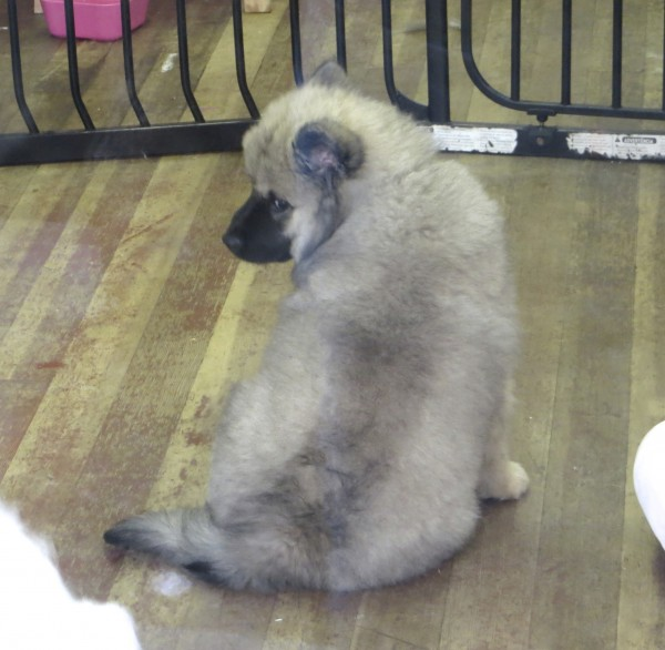 9-Week-Old Wolf-Sable or Fawn Eurasier Puppy