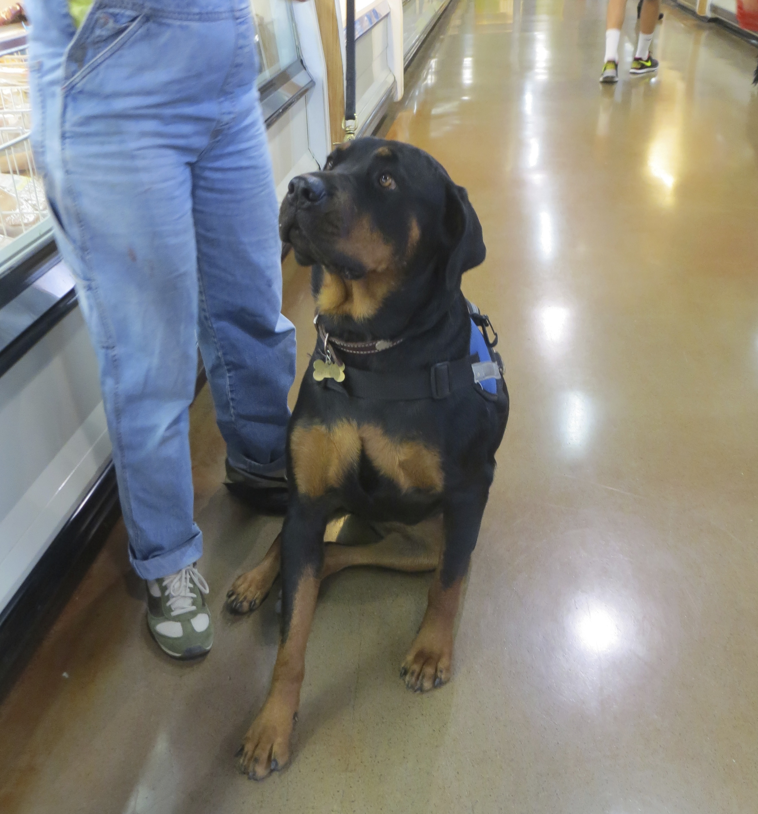 Rottweiler Service Dog