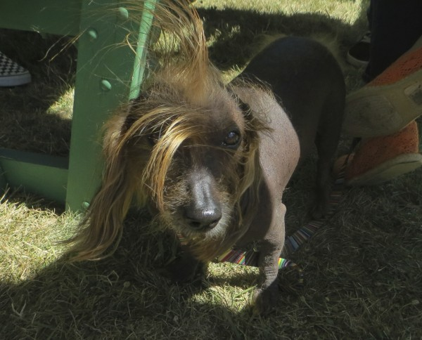 Chinese Crested Dog with Mohawk