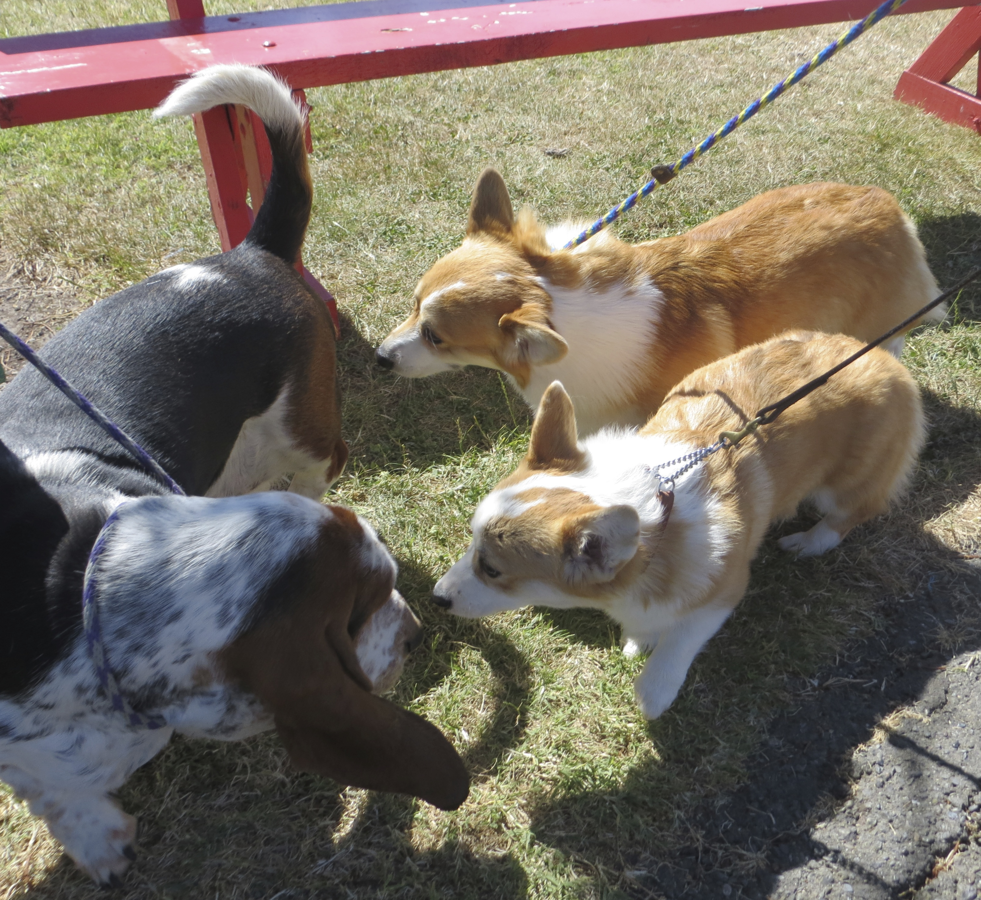 A Basset Hound and Two Tan-And-White Pembroke Welsh Corgis