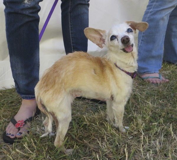 Ugliest Dogs Competition Contestant: Sophie the 17-Year-Old Cream Chihuahua Mix
