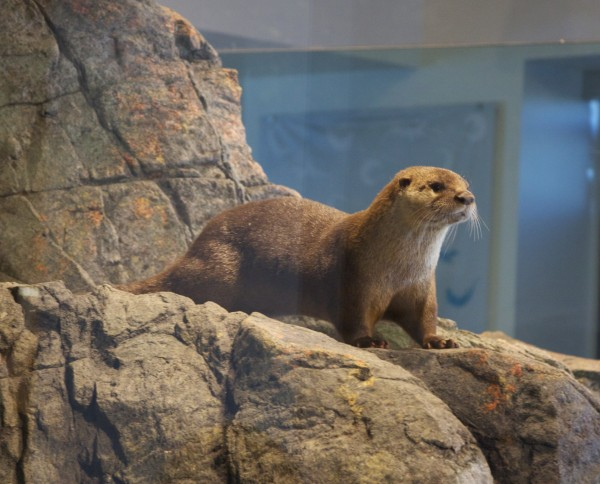 North American River Otters On Display at the Aquarium of the Bay, San Francisco