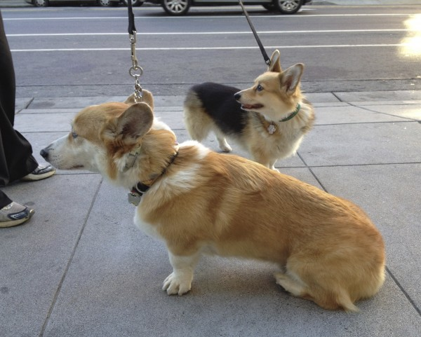 Red Pembroke Welsh Corgi and Tricolor Pembroke Welsh Corgi