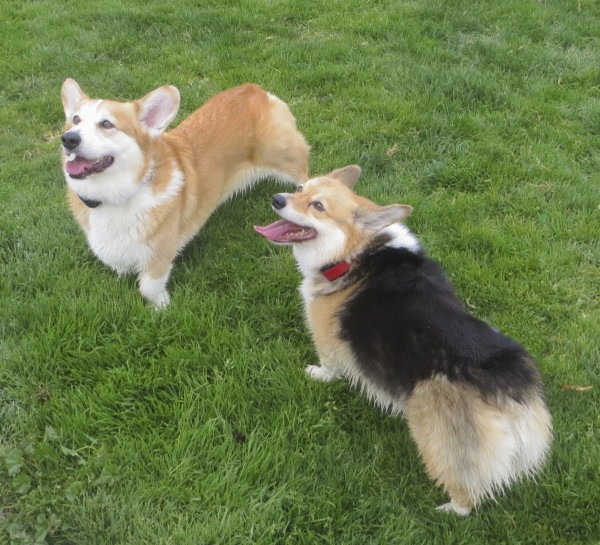 Two Wet Pembroke Welsh Corgis, one Red and One Tricolor