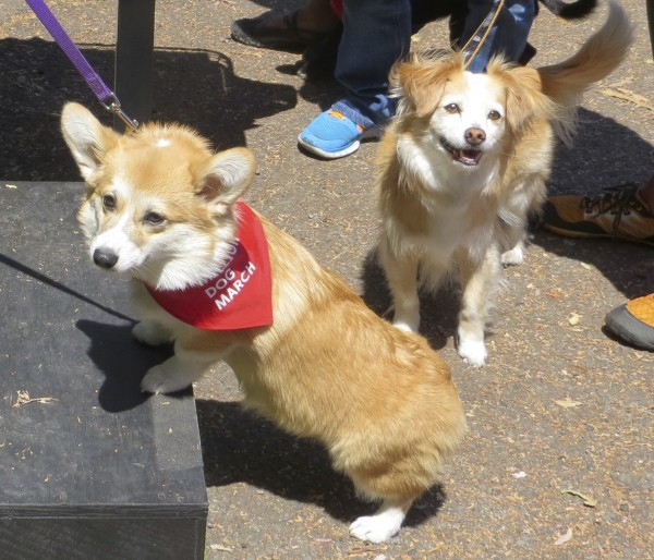 Red Pembroke Welsh Corgi  and Floppy-Eared Corgi Mix