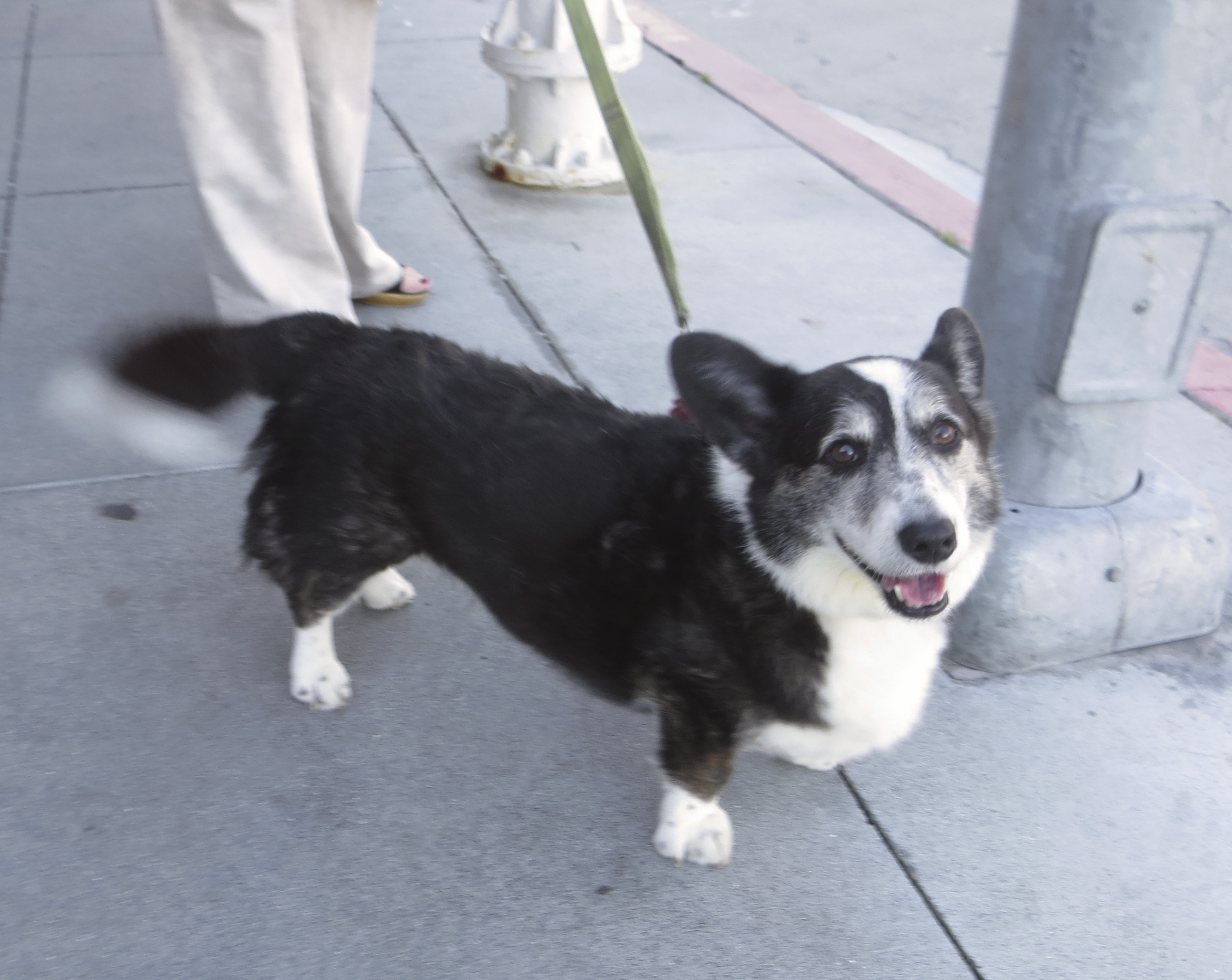 Smiling Black and White Cardigan Welsh Corgi