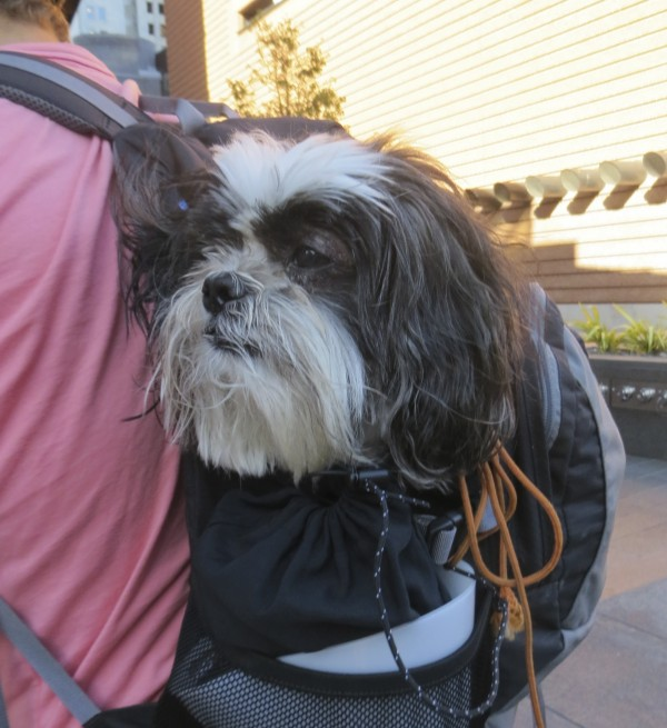 Shih Tzu in a Backpack