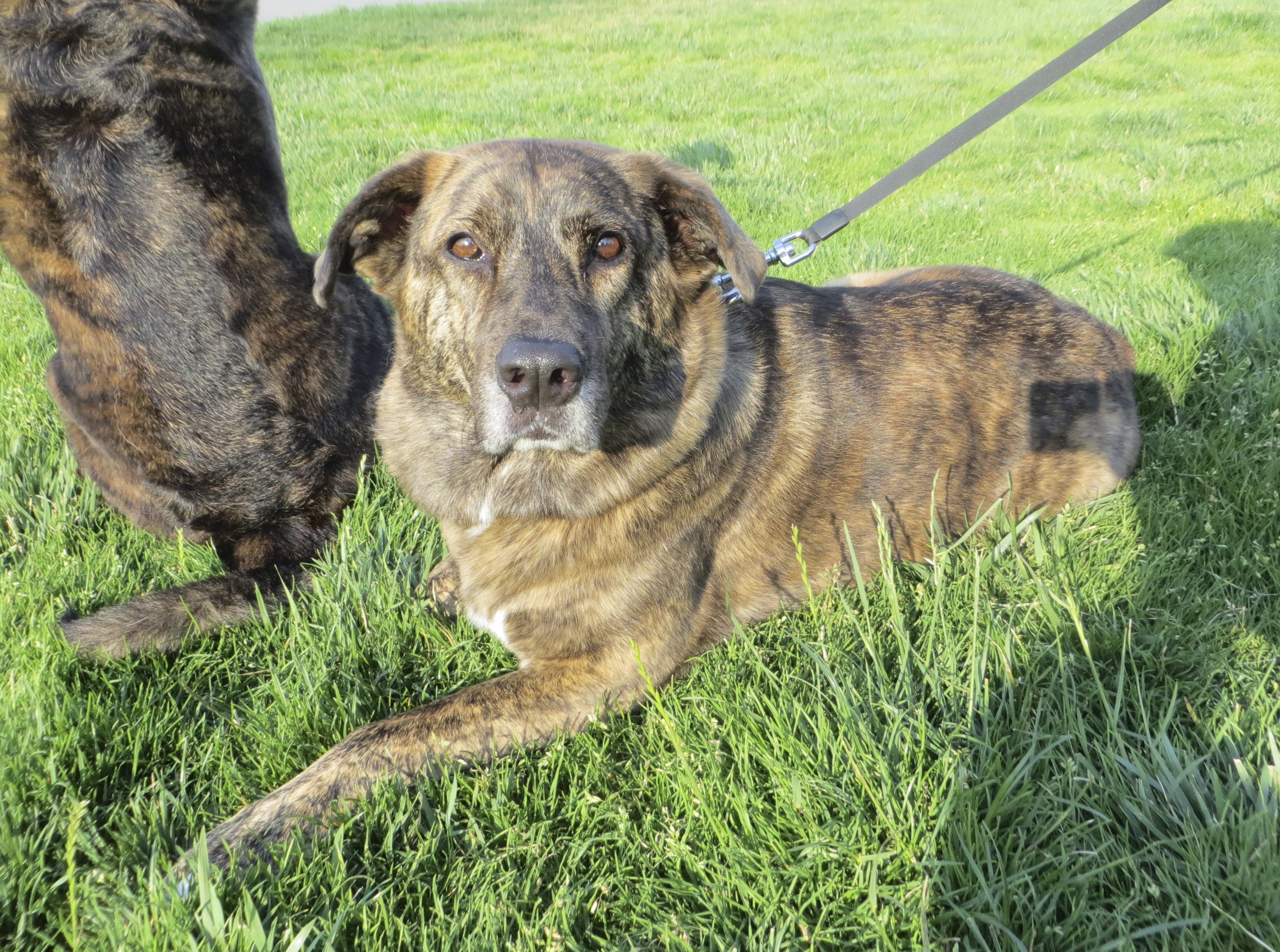 Catahoula Leopard Dog Black Lab Mix Two brindled catahoula leopard