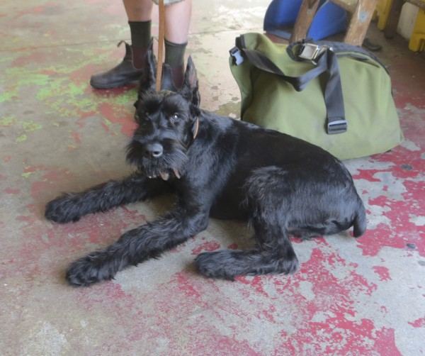 Young Black Giant Schnauzer