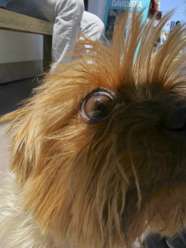Blue and Gold Yorkshire Terrier Eye