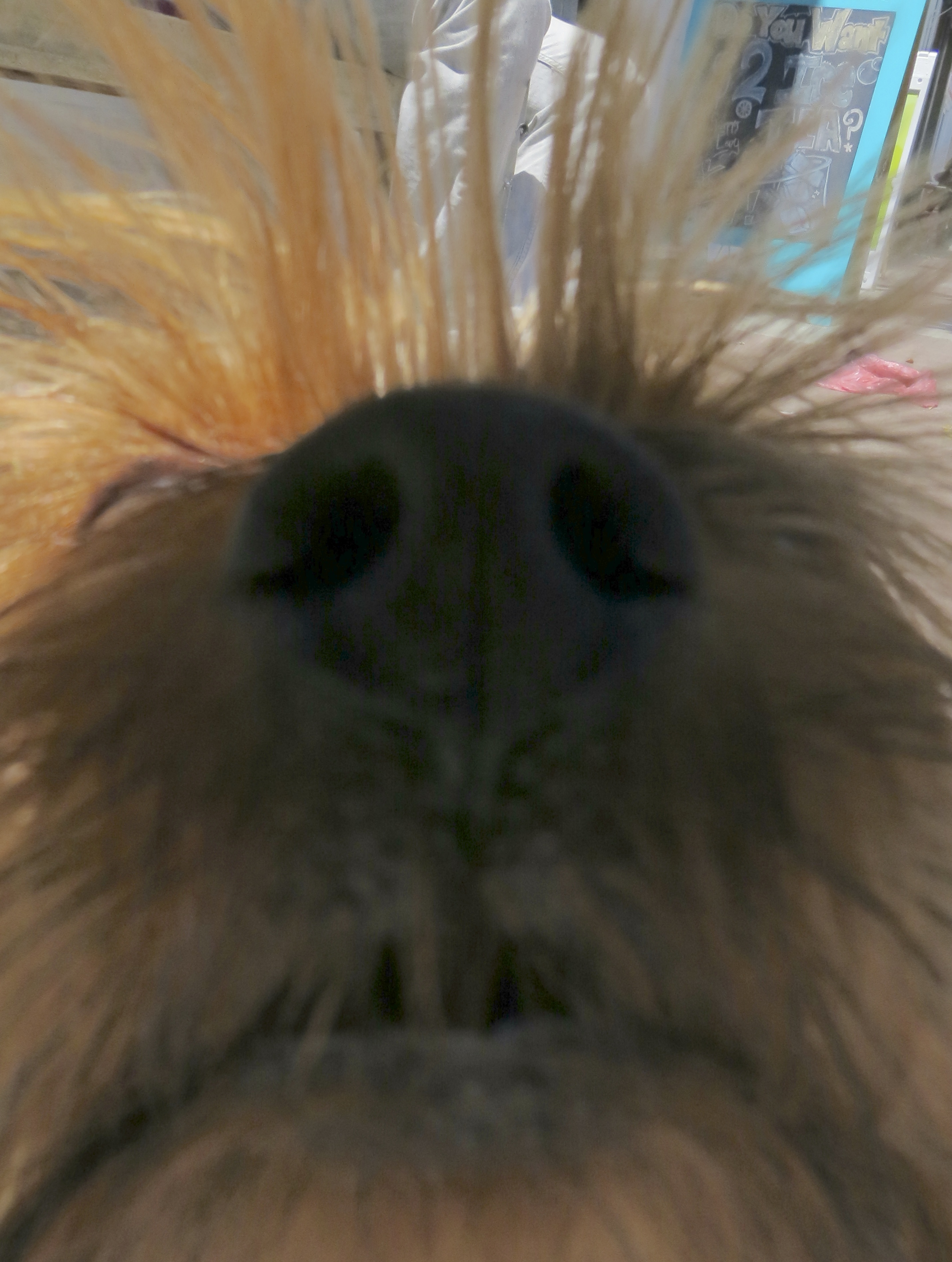 Blue and Gold Yorkshire Terrier Nose