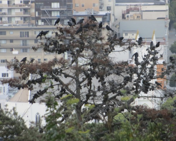 Lots of Crows in a Tree