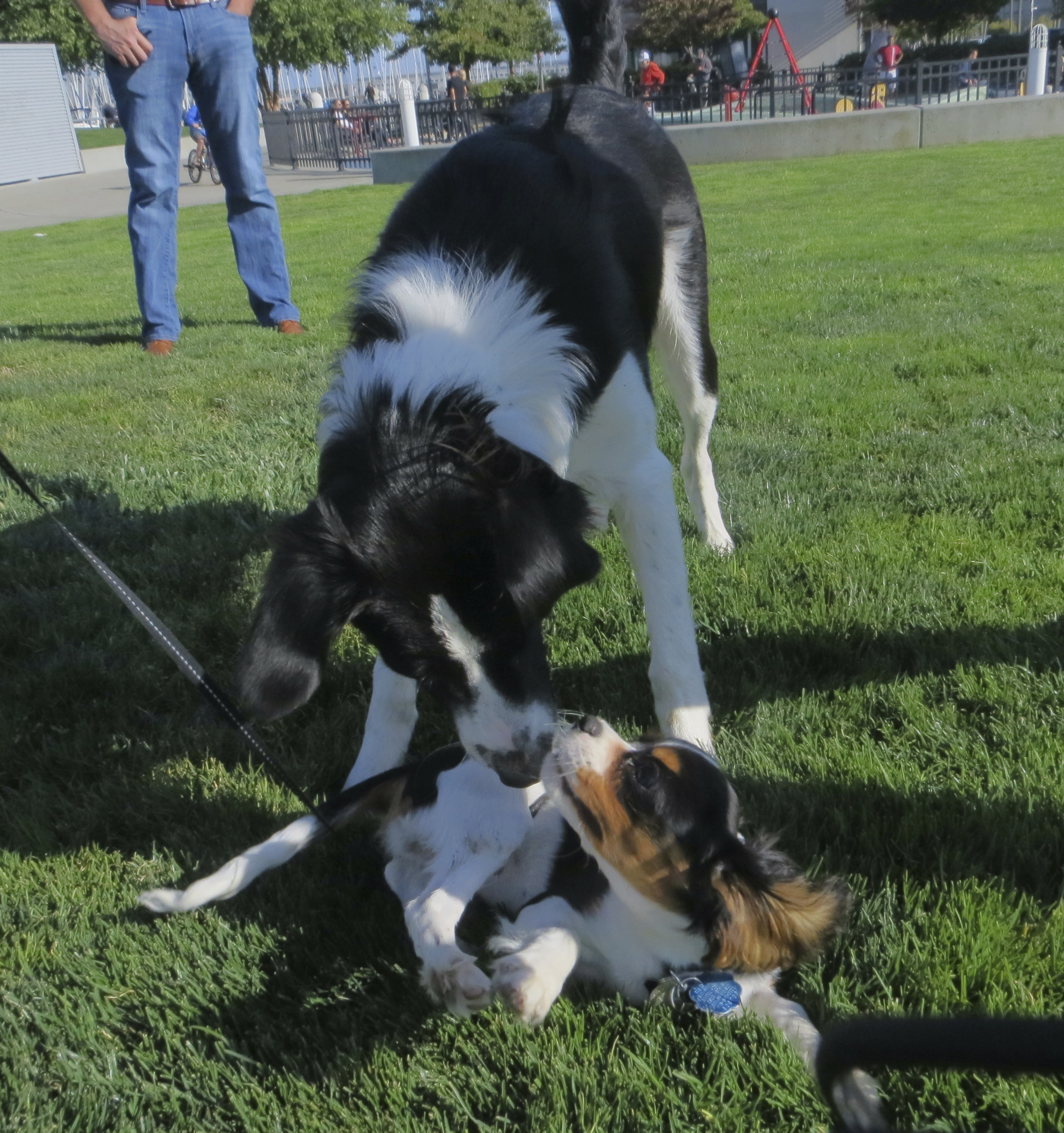 Black and White Border Collie and Tricolor Cavalier King Charles Spaniel
