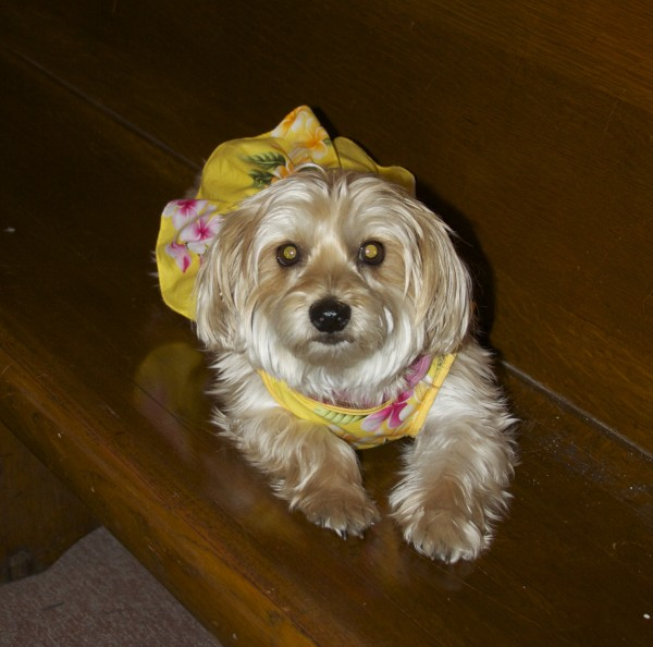 Small Blond Terrier in a Skirt