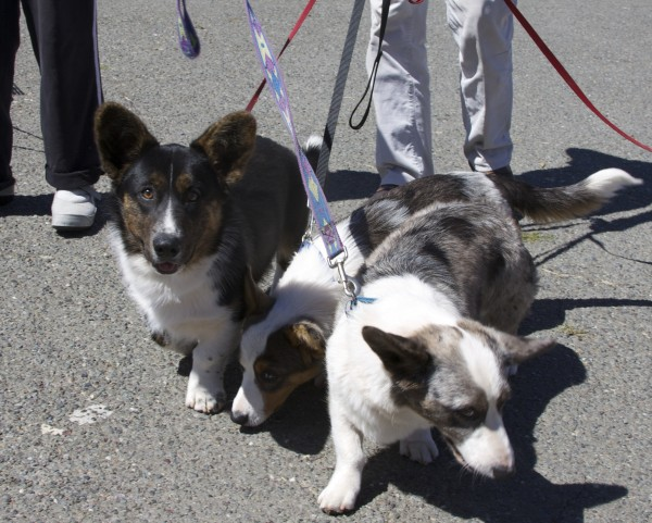 Three Cardigan Welsh Corgis, Two Blue Merle