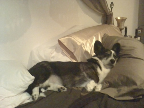 Black and White Cardigan Welsh Corgi in Bed