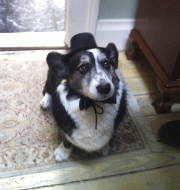 Black and White Cardigan Welsh Corgi in Hat and Bow Tie