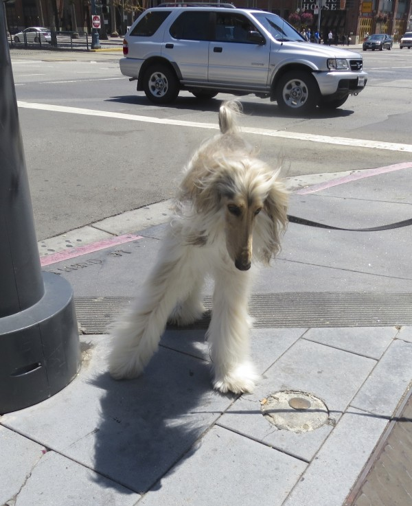 White Afghan Hound With Black and Tan Face and Markings