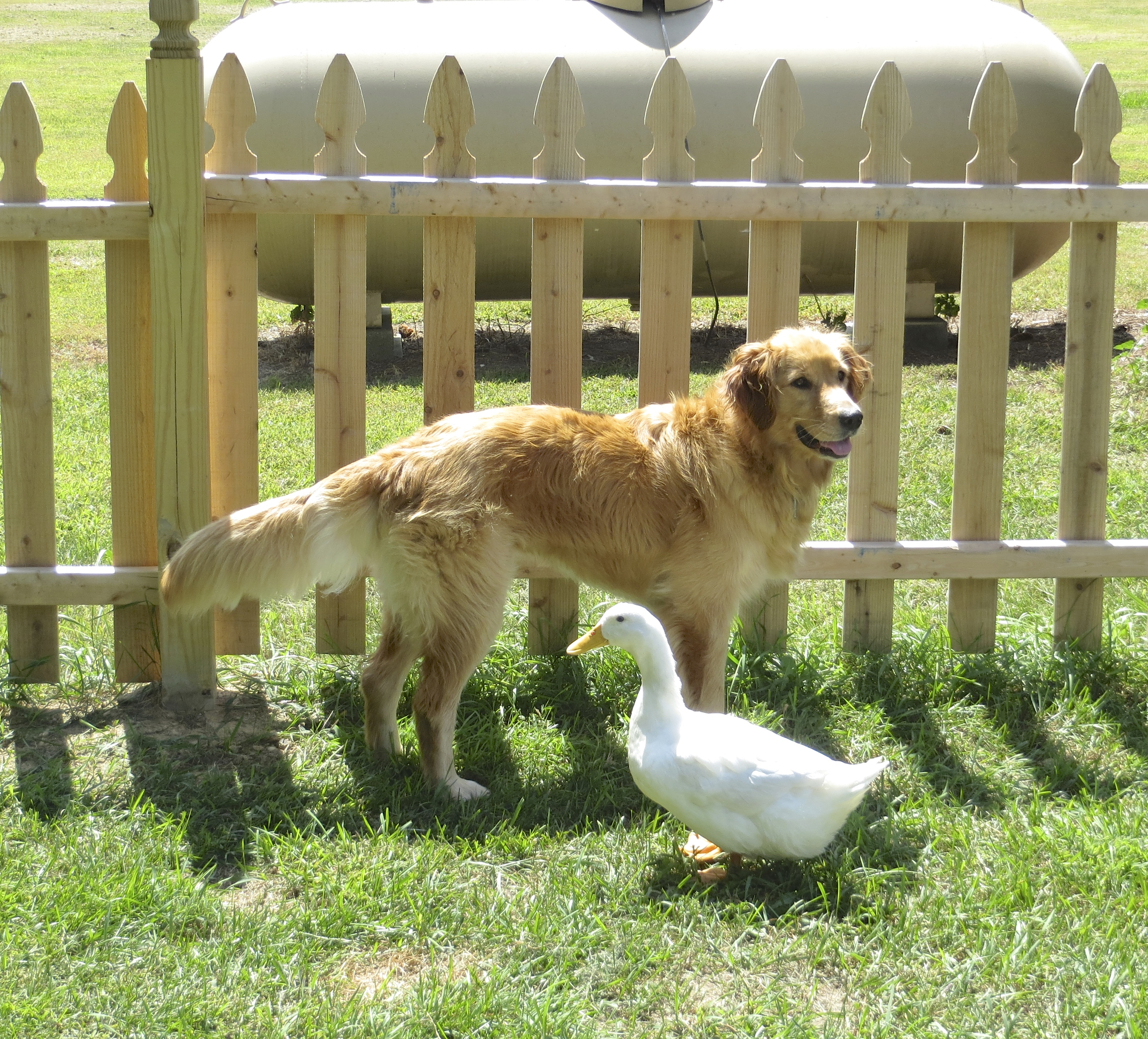 Roxy the Golden Retriever and Tank the Duck