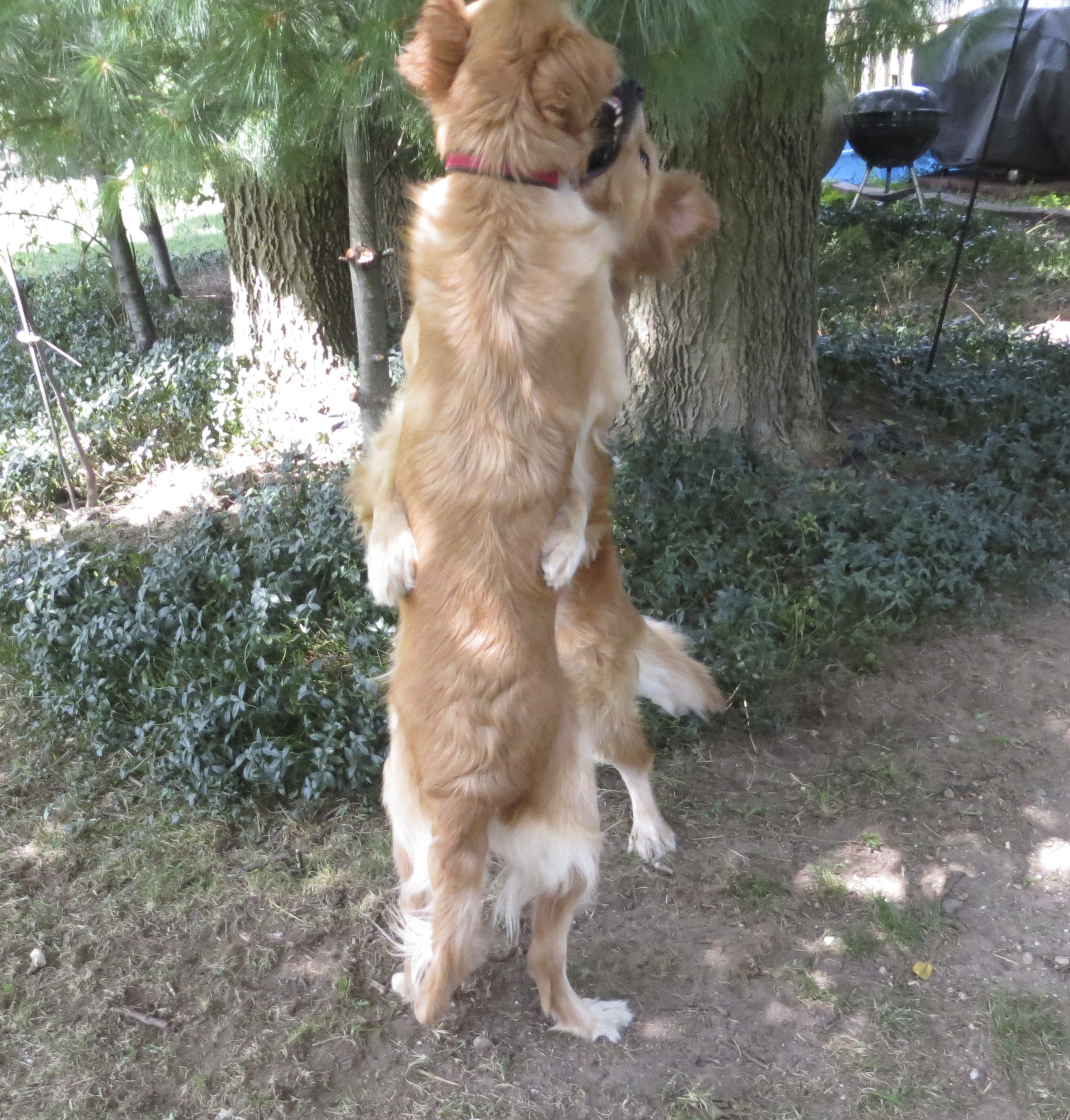 Two Golden Retrievers Standing On Their Hind Legs And Hugging And Play Biting One Another