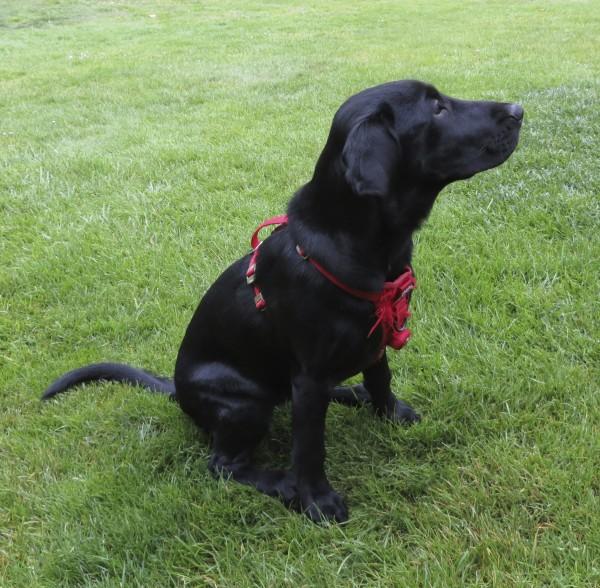 4-Month-Old Black Labrador Retriever Puppy