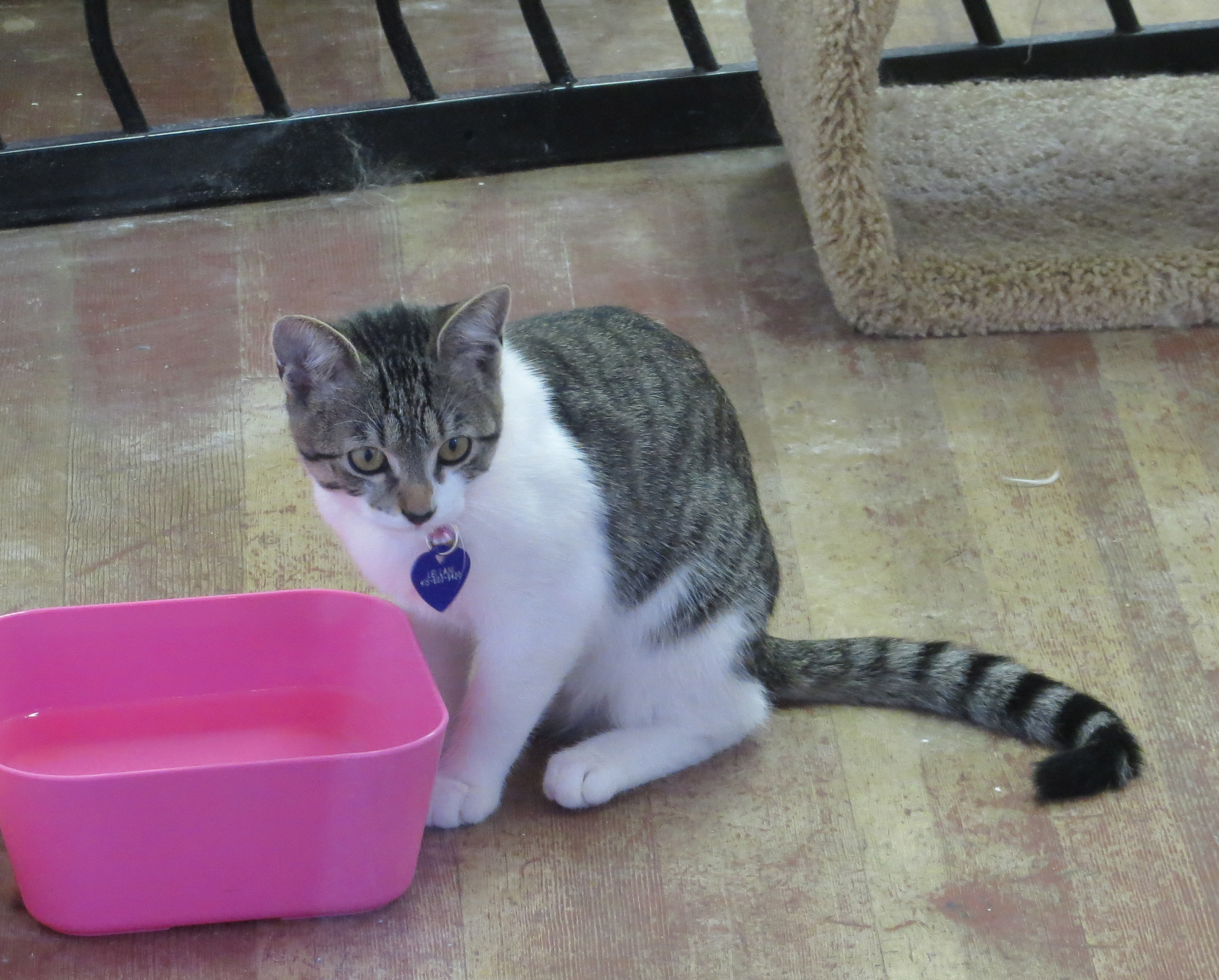 Grey and White Tiger Tabby Kitten