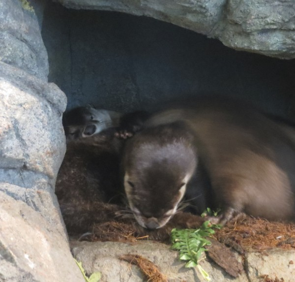 Three North American River Otters at the Aquarium of the Bay in San Francisco