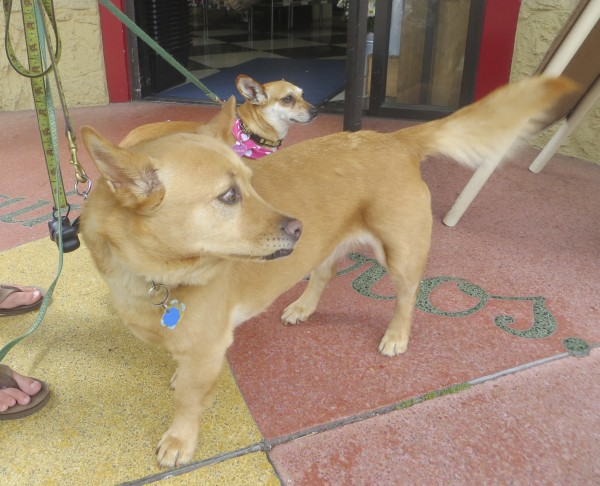 Corgi/Chow Mix and Chihuahua Mix
