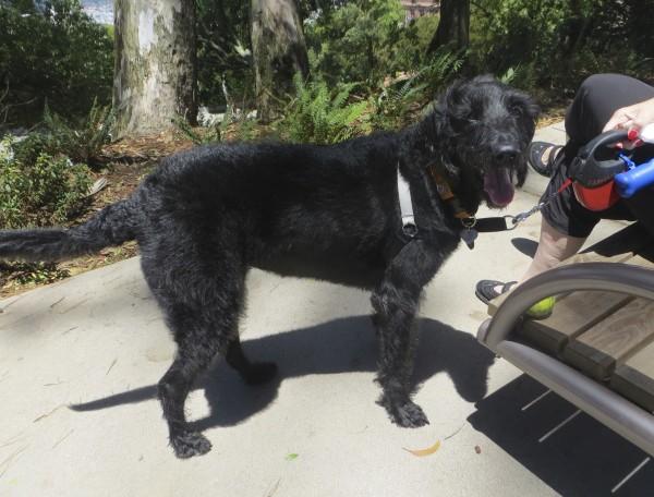 Black Labradoodle With Wiry Fur