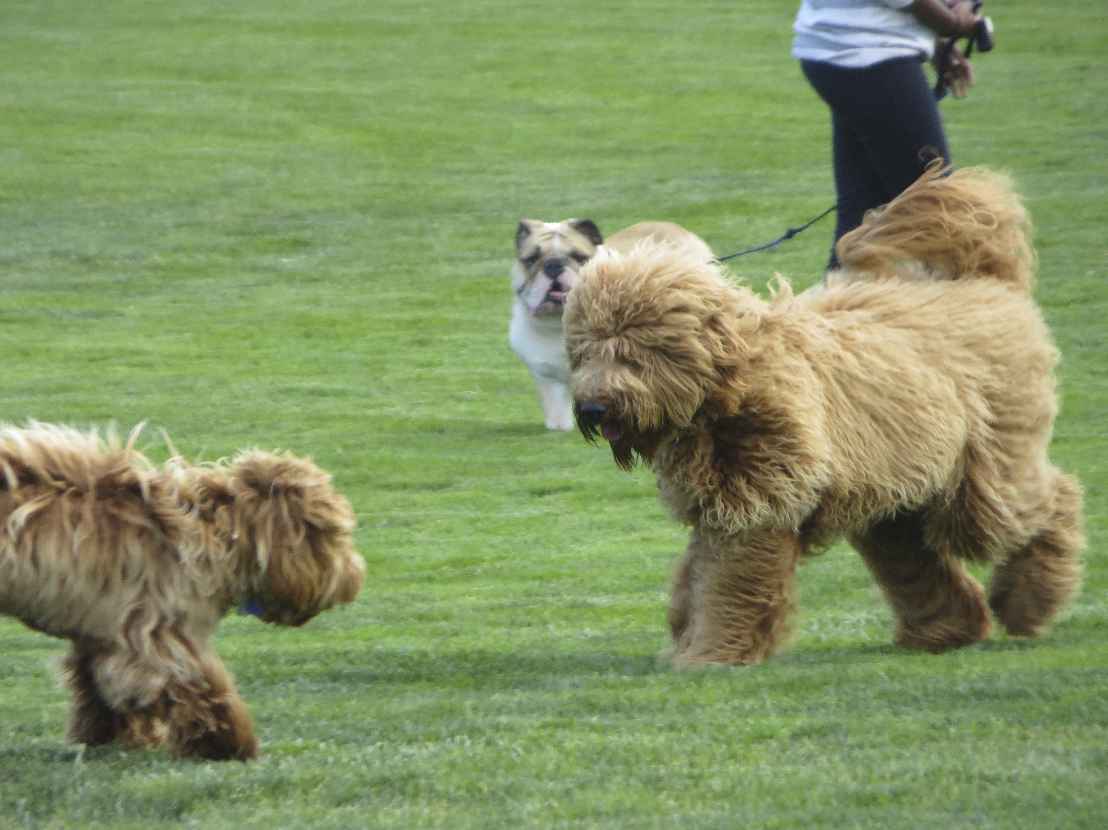 Golden-colored Goldendoodle, Brown/Gold Labradoodle, and Brown and White English Bulldog