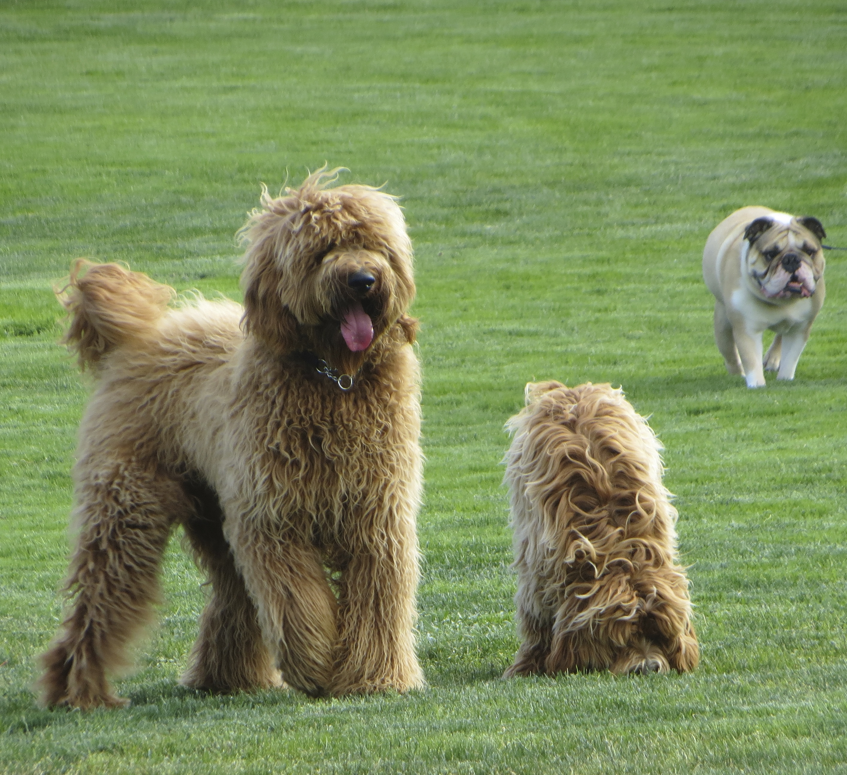 Golden-colored Goldendoodle, Brown/Gold Labradoodle, and Fawn and White English Bulldog