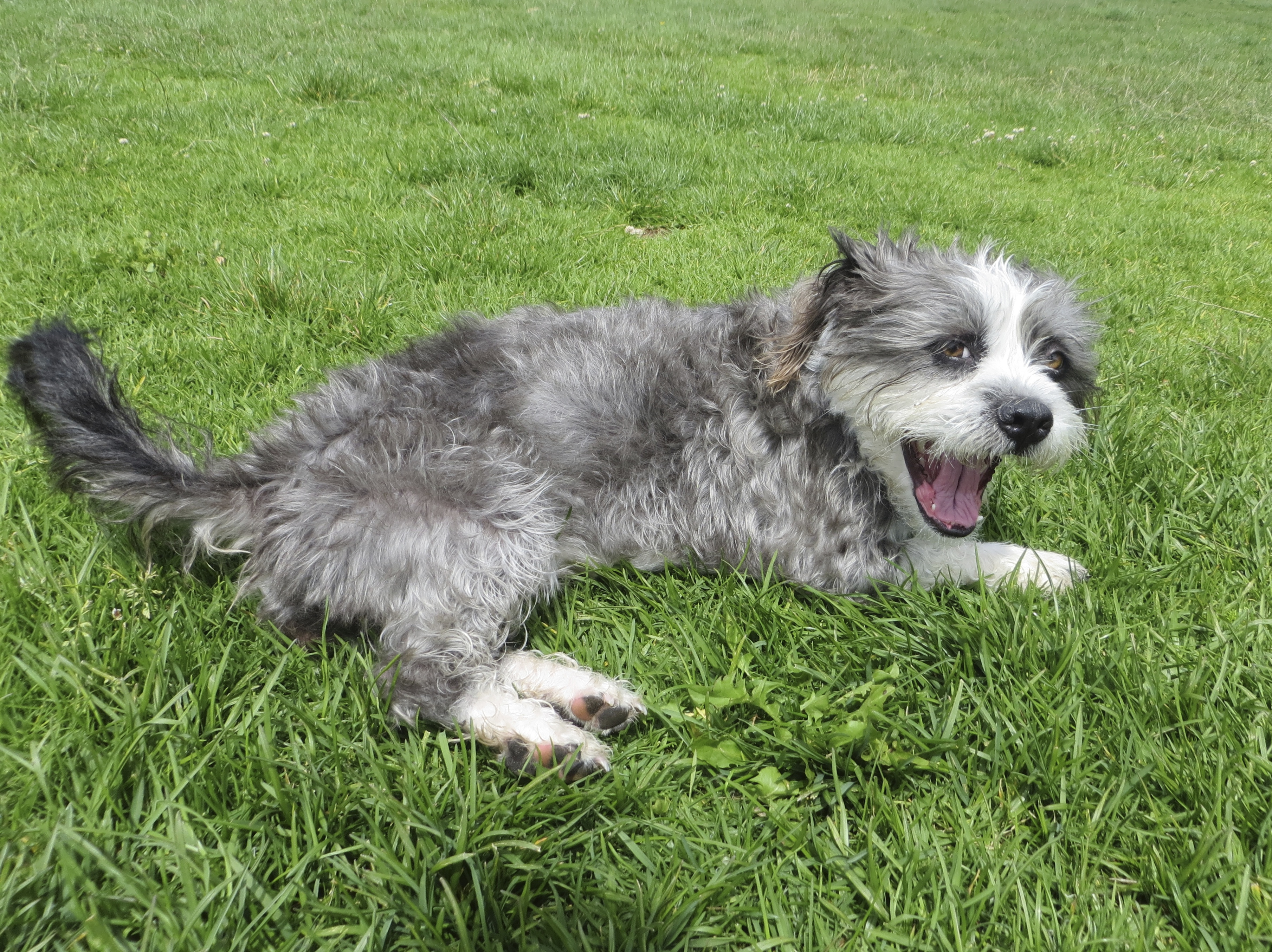 Grey And White Scruffy Terrier Dog