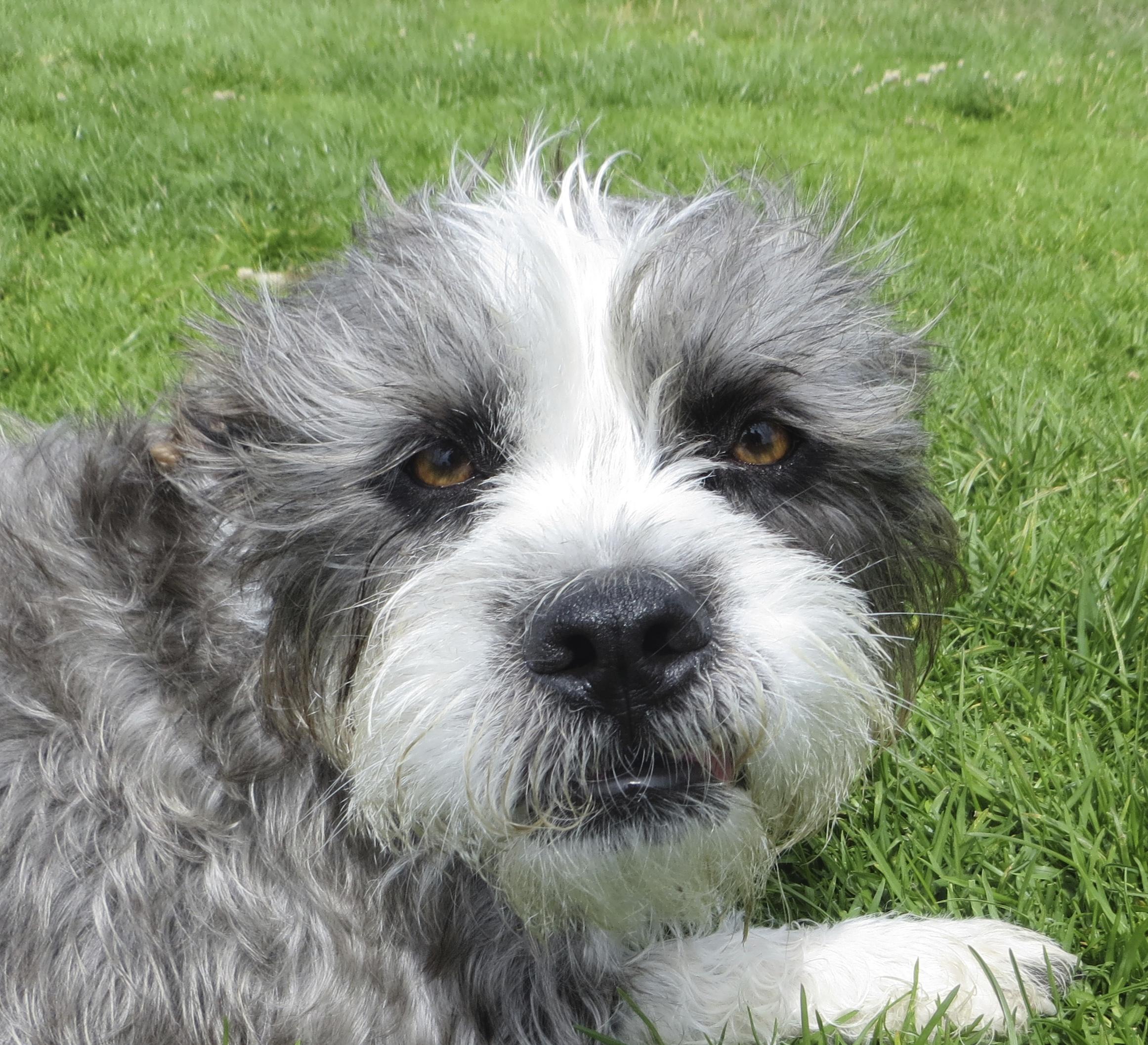 Grey And White Scruffy Terrier Dog
