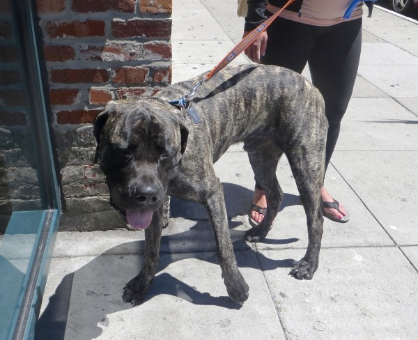 Brindled English Mastiff with White Chest