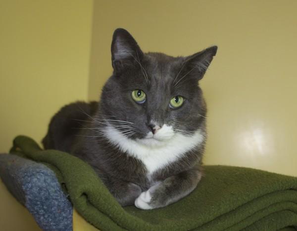 Grey and White Tomcat