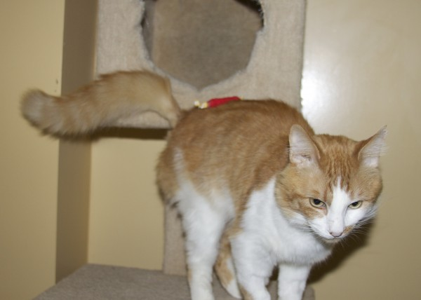 Marmalade-and-White Tabby Cat