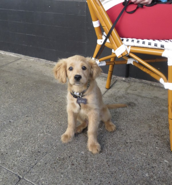 Adorable Miniature Golden Retriever Puppy