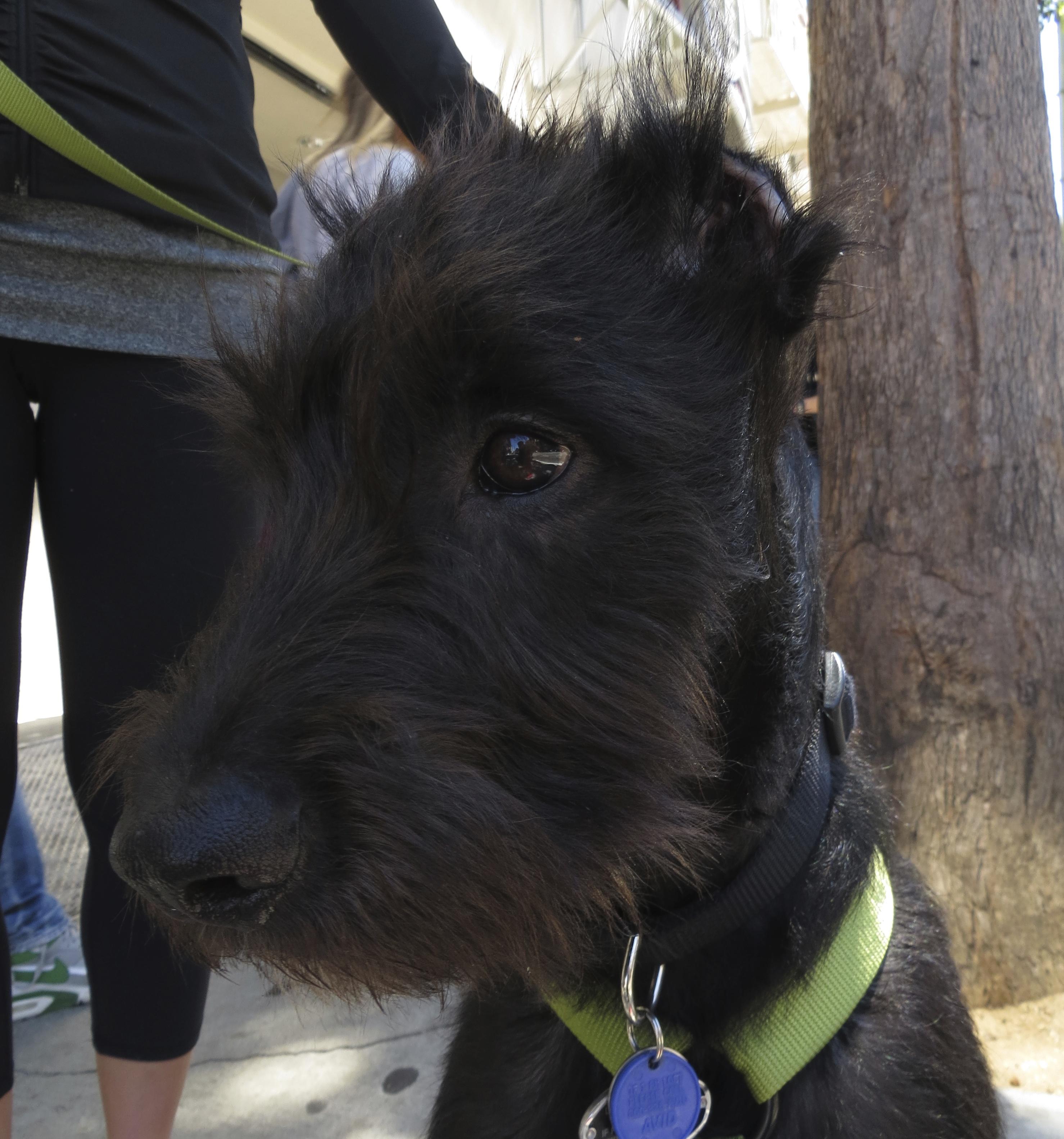 Dog Ear Cropping San Francisco