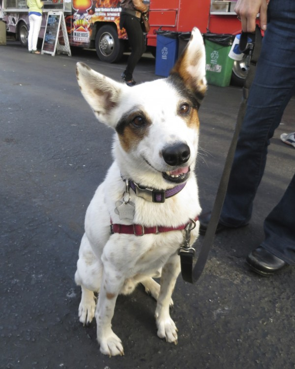 White Australian Cattle Dog with Black and Brown Spots