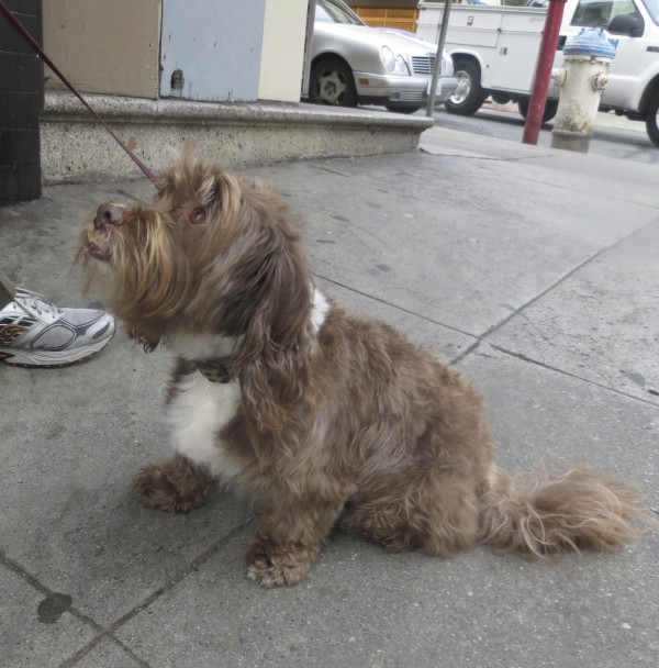 Brown Schnauzer Poodle Mix with White Chest and Stripe