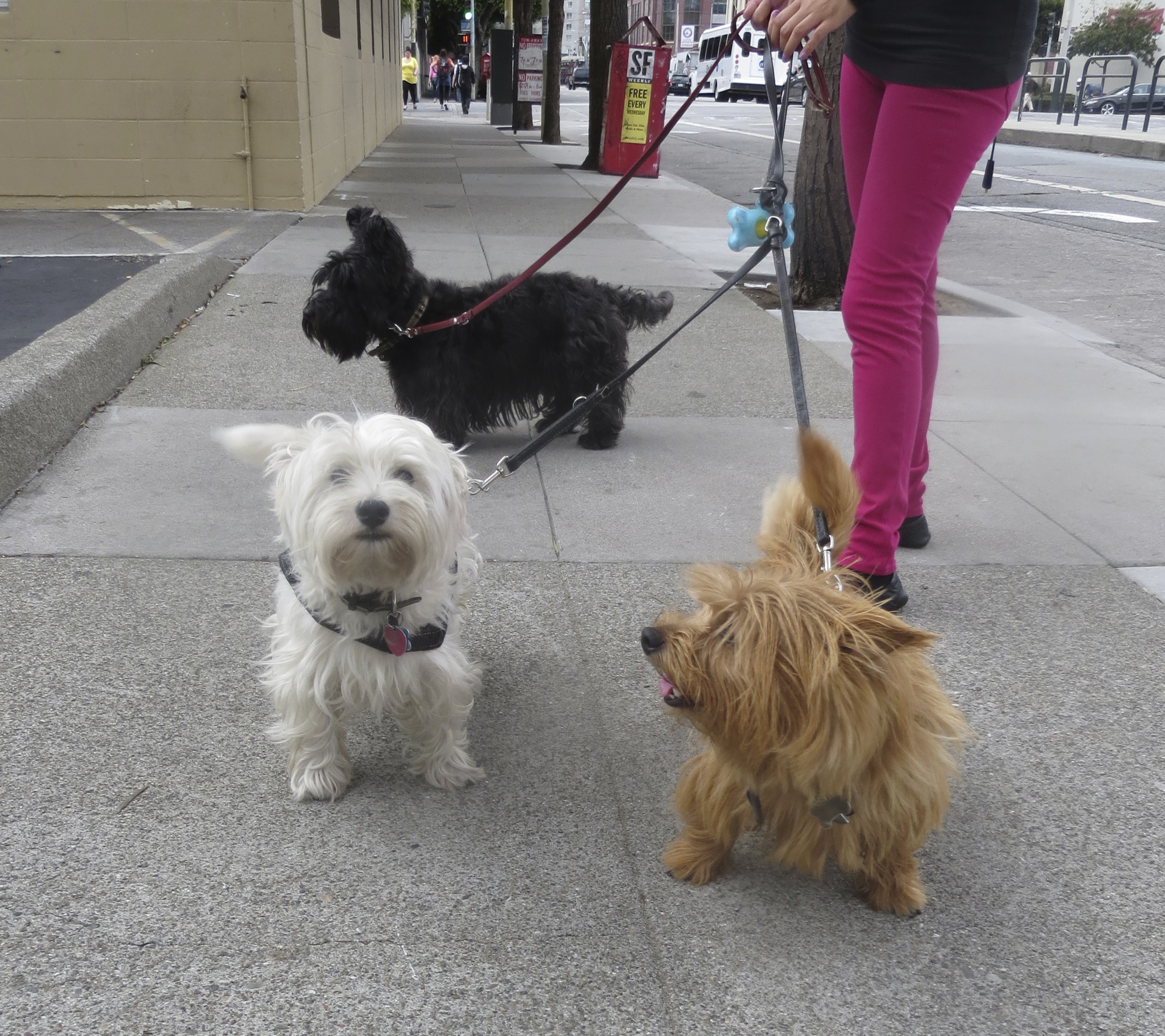 Scottish Terrier, Norwich Terrier, and West Highland White Terrier