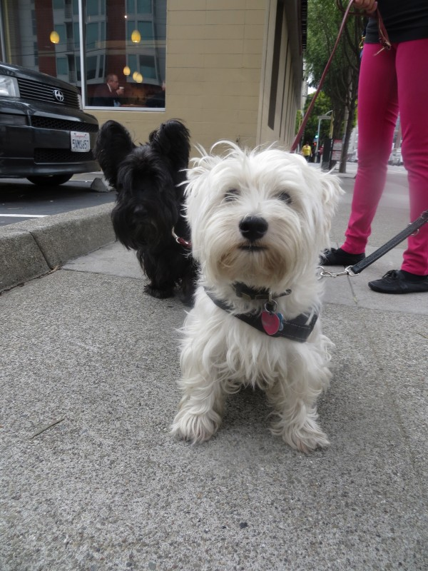 Scottish Terrier and West Highland White Terrier