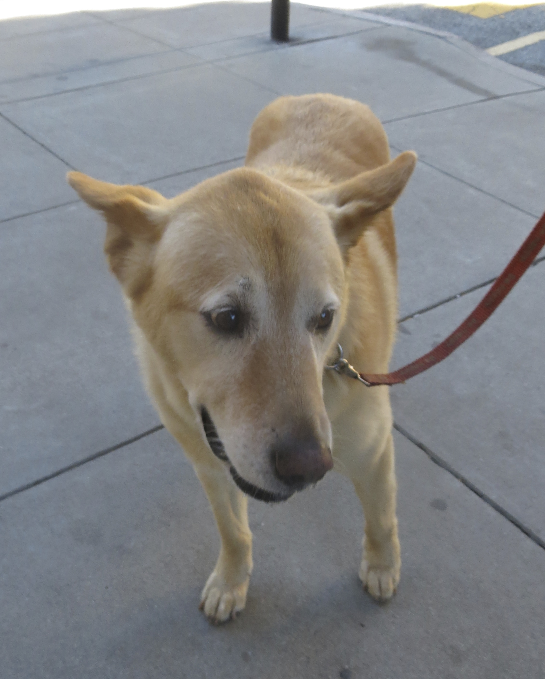 Mixed-Breed Dog That Looks like a Lab With Pointy Ears