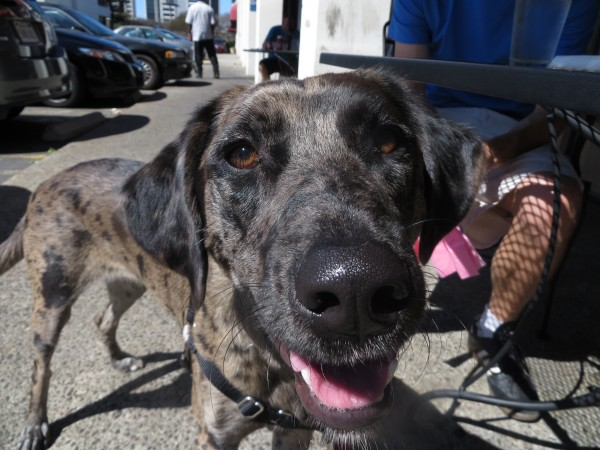 dog of the day taco the catahoula leopard dog the dogs